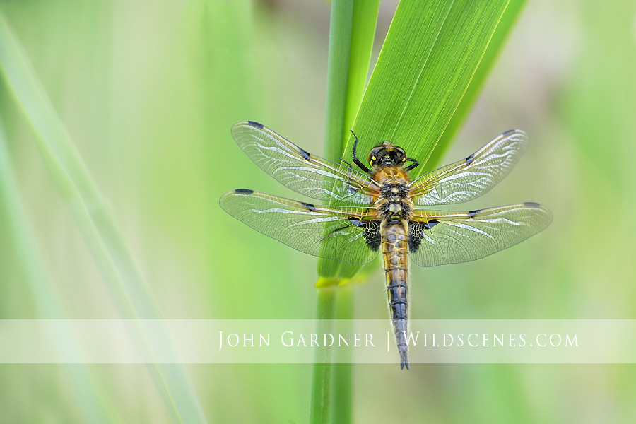 four spotted chaser by John Gardner wildlife photographer