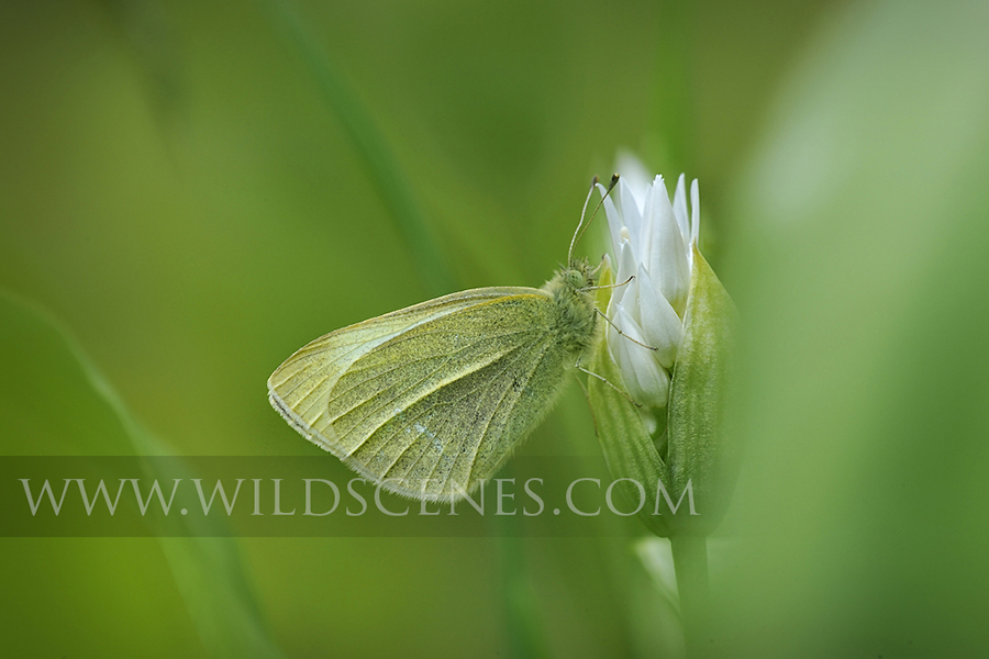 small white butterfly in wild garlic