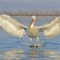 Dalmation pelican on Lake Kirkini