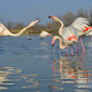 Greater flamingo, Carmargue