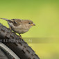 House Sparrow on bicycle