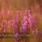 Rosebay willow herb at sunset