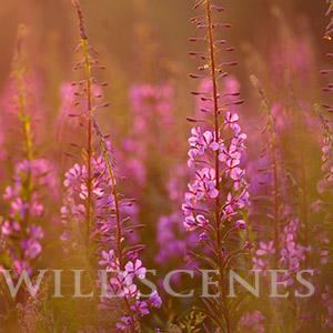 Rosebay willowherb at sunset