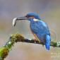 Kingfisher photography