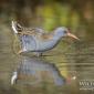 Yorkshire wildlife photographer water rail