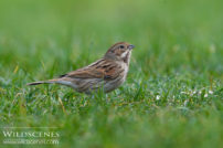 reed bunting low level nature image