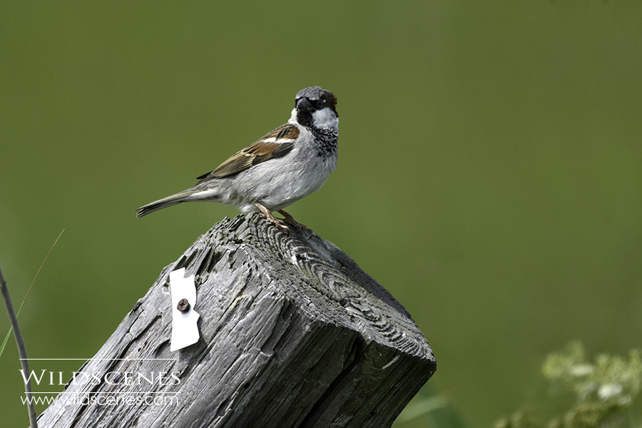 bird photography on Texel : House psarrow