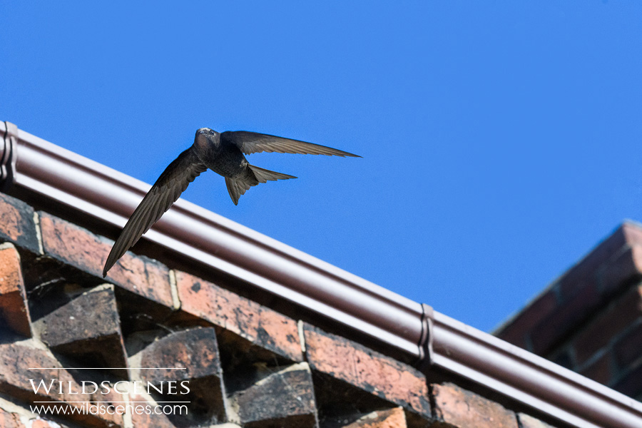 common swift nesting in eaves