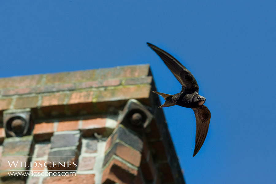 common swift photography