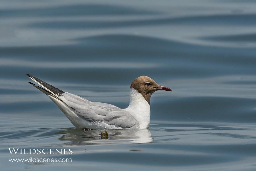 black-headed gull in Brittany
