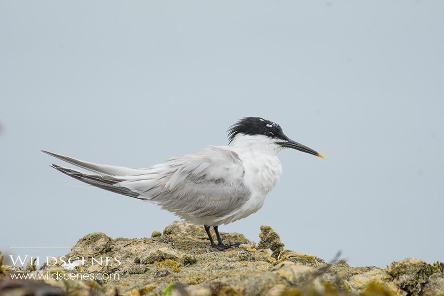 Sandwich tern on rocks, Brittany